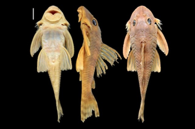 Star Wars inspira nome de espécie de peixe descoberta no Brasil