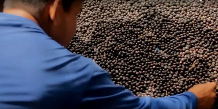 'Açaí': filme de Tefé claro e conciso sobre produção do vinho de açaí
